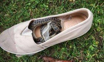 신발에 숨은 비단뱀, 비행기로 14,500km 여행한 사연