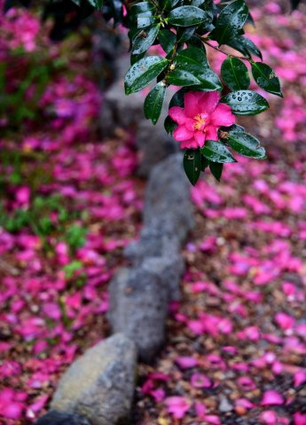 [조용준의 여행만리]봄비 머금은 봄꽃…방울방울 봄이 맺혔다