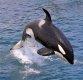 [집중기획 상어 vs 인간]②4m 백상아리 단숨에 반토막 내는  IQ90 킬러고래 있다