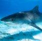 [집중기획 상어 vs 인간]④상어 만나면 코 때리라는데 사실일까