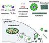 미토콘드리아에 표적약물전달…암세포 사멸한다