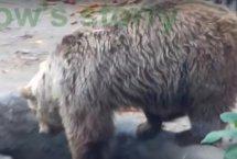 물에 빠진 까마귀를 본 불곰의 반응