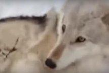 배 문질러주니 좋아죽는 늑대