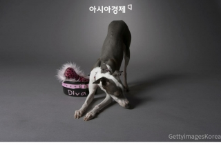 [카드뉴스] 늑대는 사나운데, 개는 왜?… 염색체 비밀 밝혀냈다