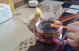[영상] 부리로 드럼 치는 잉꼬