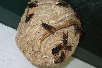 [말벌의 습격] 외래종과 토종4종 모양과 특징 비교해보니