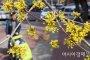 산수유꽃 핀 어느 봄날