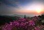 [여행만리]간월재에 수줍게 핀 진달래와 철쭉…분홍빛 흩날리며 이제야 오셨네