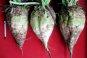 [金요일에 보는 경제사]경제제재가 낳은 대체식품, '사탕무' 설탕