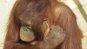 [황당뉴스]가는 밀짚줄기로 귀 파는 오랑우탄