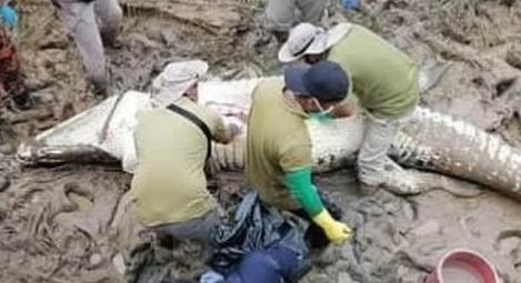 악어 배 속에서 시체 발견