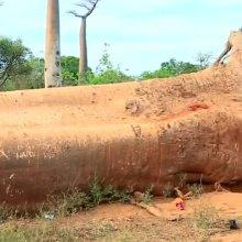 [과학을읽다]만년을 사는 '바오밥나무'의 요절