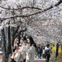 [포토] 꽃망울 터뜨린 여의도 벚꽃, 축제는 취소