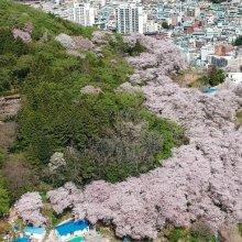 [포토] 그림의 떡이 된 감천문화마을 벚꽃