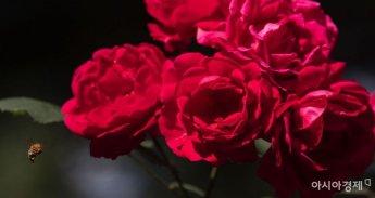 [포토] 장미향기에 취한 벌꿀