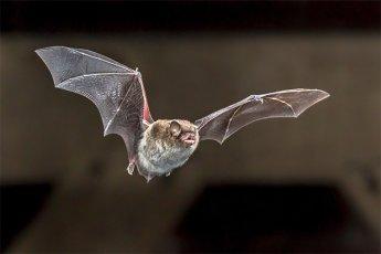 """""""中과학자들, 동굴 박쥐에 전염력 강한 '변종 코로나' 전파 계획…美에 160억 연구비 지원 요청도"""""""