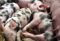 [과학을읽다]사람 살리는 돼지, 한 마리에 2억원?