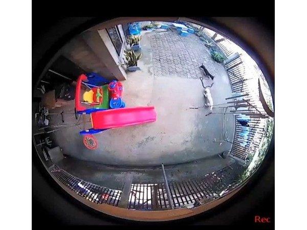 [영상] 목숨 걸고 코브라로부터 아기 구한 두 견공